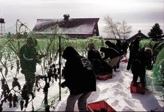 Icewine Harvest, Niagara -On- The- Lake..