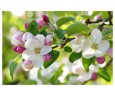 https://flic.kr/p/rkFdpk | Apfelblüten - Apple blossom - リンゴの花 | Was in Japan die Kirschblüten - sind im Thurgau die Apfelblüten