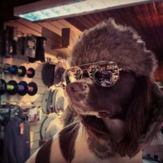 Sete is one super cool Spaniel.