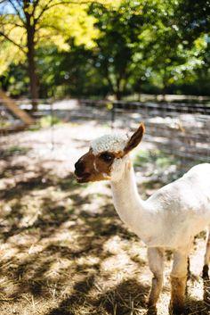Alpacas at Los Poblanos Historic Inn and Lavender Farm Albuquerque, The Taste SF #Albuquerque #travel #resort #vacation #newmexico #farm