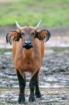 African forest buffalo - omg, too cute!!