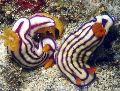 The Sea Slug Forum - Hypselodoris maridadilus