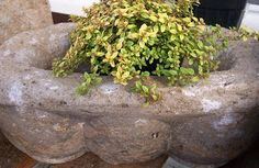 Hypertufa planter with Costco lettuce container used as mold.