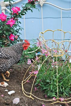 Old lamp shade frames as plant supports (or plant protection from chickens !) Very good idea.