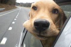 Perro con la cabeza por la ventana del coche