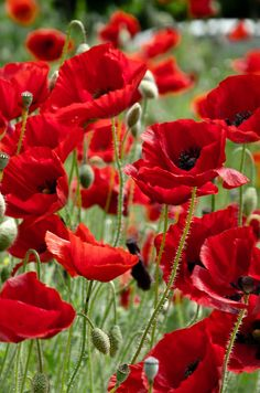 Pretty in red by LKungJr Poppy garden