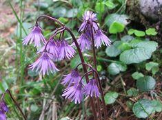Soldanella carpatica a3 - Rośliny tatrzańskie – Wikipedia, wolna encyklopedia A3, Plants, Plant, Planets