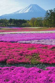 Mt.Fuji and Moss Phlox