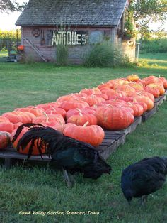 Hawk Valley Garden..my black sumatra chickens in front of cinderella pumpkins and grandpa's old coal shed