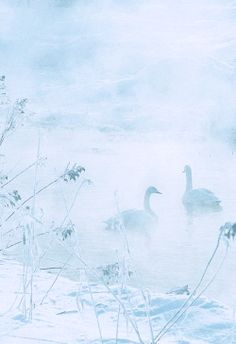Winter morning swans