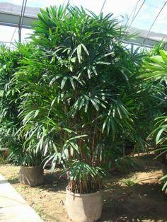 Conozcamos al Rafis, una hermosa planta de interior