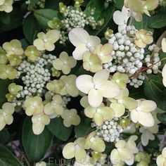 Hortensja karłowa POLESTAR® Hydrangea paniculata /C3