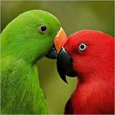 Eclectus Parrots By Tim Laman Parrot Perch Parrot Bird Mundo Animal Parakeets