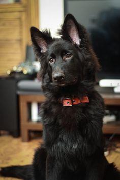 Black #German #Shepherd