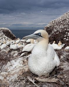 Gannet on nest, Bass Rock, Scotland - did you know? at one time the Bass Rock held prisoners of war from the French Revolution?