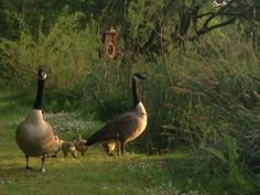 Canadian geese and their goslings May 2014