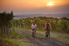 Radfahren zwischen Weinbergen in der hügeligen Region Bad Radkersburg #BadRadkersburg #Radfahren #Weinberge #Radurlaub (c)TVB Region Bad Radkersburg, Bernhard Bergmann