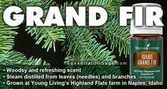 Idaho Balsam Fir is now Idaho Grand Fir! Grand Fir, Savvy Minerals, Balsam Fir, New Names, Growing Tree, Medical Conditions, Young Living, Idaho, Evergreen