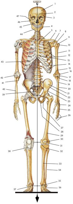 Human skeleton — Anatomy references for artists