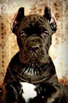 #pup-#cane #corso