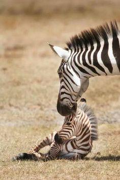 Zebras. #family #animals
