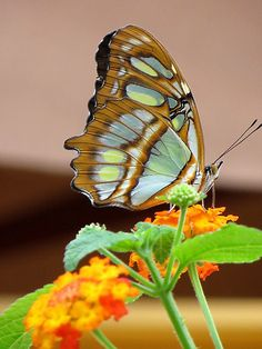 The colors of this butterfly would be beautiful colors for the interior of a house ...