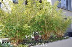 Clumping Bamboo: (not the  running bamboo that may come up through your next door neighbor's floor). It is a great screen and the birds love to hang out and nest there. I have 3 plants featuring yellow cane and green stripes. Keep in mind these plants get 15 to 35 ft tall. Credit: Roy Wiskar