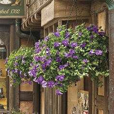 AMAZING Hanging Baskets #Disneyland   PETUNIAS (Wave Series) ―hundreds of nonstop blooms. Wide-spreading plants; don't need deadheading; plant in sun.  OR...use MILLION BELLS (Calibrachoa sp.)―trailing plants that resemble miniature petunias; bloom nonstop; don't need deadheading plant in sun.