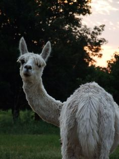 Zena Suri Alpacas in Jay, Oklahoma is a fully functional alpaca farm. Visitors are welcome by appointment to see these adorable animals and learn about how to care for them.
