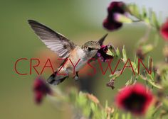 Hummingbird Photograph by CrazySwanPhotography on Etsy