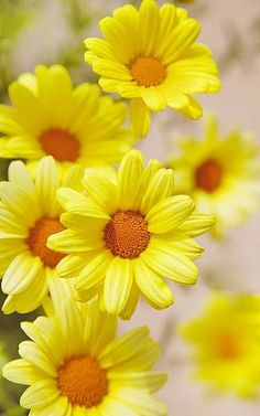 Yellow Daisies - Visit www.sarahangst.com - fine artist and printmaker for more beautiful artwork! Reproduction prints inspired by the outdoors - flowers, animals, landscapes...