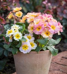 Buy Polyanthus 'Stella Champagne' from Sarah Raven: A soft-coloured, curvy petalled perennial polyanthus. Plant in dappled shade or grow in a container. Container Plants, Container Gardening, Container Flowers, Biennial Plants, Plant Delivery, Home Flowers, Flowers Garden, Types Of Soil, Season Colors