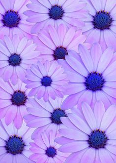 If you love Spanish Daisies and light pink and purple color, in a joyful collage, this is for you. 10 pack of cards is great to have at home. you never know when you need a card or :) Purple Flowers Wallpaper, Light Purple Flowers, Purple Daisy, Purple Sparkle, Summer Wallpaper, Purple Backgrounds, Colorful Flowers, Wallpaper Backgrounds, Wallpapers