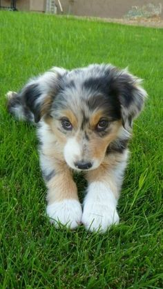 Australian Shephard pup!  So adorable!!