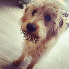 #miniaturelabradoodle hashtag on Instagram • Photos and Videos Miniature Labradoodle, Different Dogs, That Look, Photo And Video, Videos, Photos, Instagram, Pictures