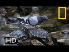 Giant Snapping Turtle Attack | Wildlife Documentary | National Geographi...