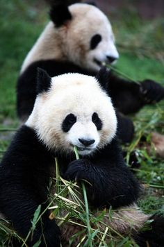 Travelling to China's Smaller Cities - Pandas in Chengdu