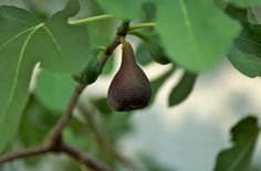 If you happen to be lucky enough to have a fig tree in your home garden, there is nothing more tragic than small, inedible figs on the tree. What then are some reasons for a fig with small fruit and are there any solutions? Click here to fine out.