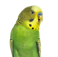 Budgie Parakeet, Parakeets, Parrots, Baby Budgies, Conure, How To Be Outgoing, How To Know, Pet Birds, Behavior