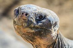 Wallace the Galapagos tortoise is over 100 years old.