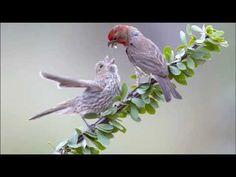 How to Raise a Baby House Sparrow Bird Identification, House Sparrow, Brown Bird, Wildlife, Birds, Nature, Animals, Baby, Naturaleza