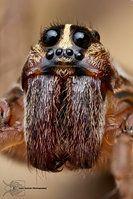 Wolf Spider - Hogna sp. by ColinHuttonPhoto