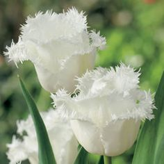 Tulipa  Honeymoon has pure white fringed blooms, the serrated petals are almost feathery in some cases. Fringed Tulips have long lasting blooms on strong tall stems. Plant the bulbs when the ground begins to cool in late April - May, if required place the bulbs in the%...