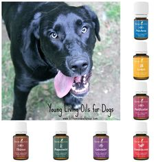 Did you know you can use Young Living Essential Oils for Dogs? Check out how to use them and the many health benefits they offer!