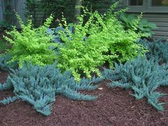 Blue Chip Juniper and Golden Carousel Barberry
