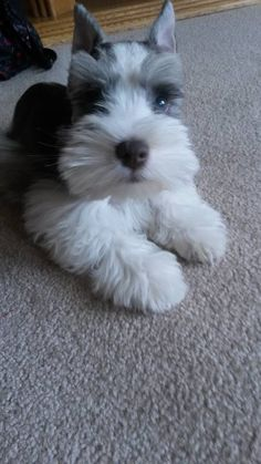 Ranked as one of the most popular dog breeds in the world, the Miniature Schnauzer is a cute little square faced furry coat. Schnauzer Mix, Schnauzer Grooming, Miniature Schnauzer Puppies, Cute Puppies, Cute Dogs, Dogs And Puppies, Doggies, Funny Animals, Cute Animals