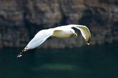 Eine Mantelmöwe segelt vor Klippen an der nordfranzösischen Küste Bird, Animals, Kinds Of Birds, Sailing, Animales, Animaux, Birds, Animal, Animais