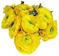Mayesh Wholesale Florists - Search our Flower Library Neon Flowers, All Flowers, Yellow Flowers, Beautiful Flowers, Wholesale Florist, Blooming Flowers, Ranunculus, Early Spring, Florists