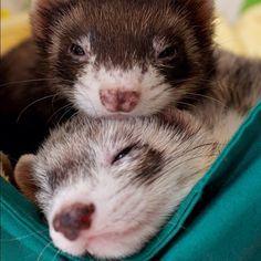ferret love <3