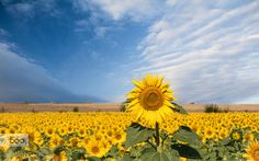 Photograph Sunflowers by Jivko Nakev on 500px